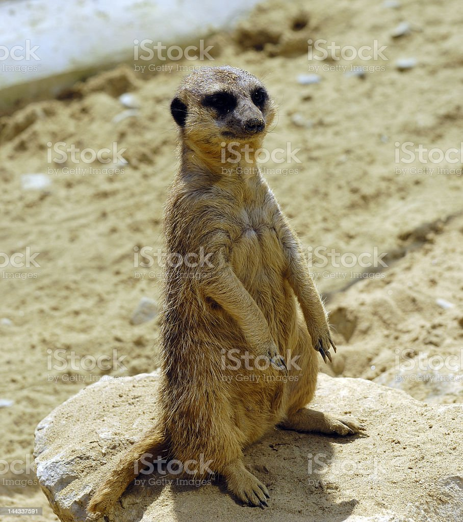 Sitting banded Mongoose royalty-free stock photo