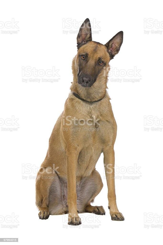 sitting Belgium Shepherd dog royalty free stockfoto
