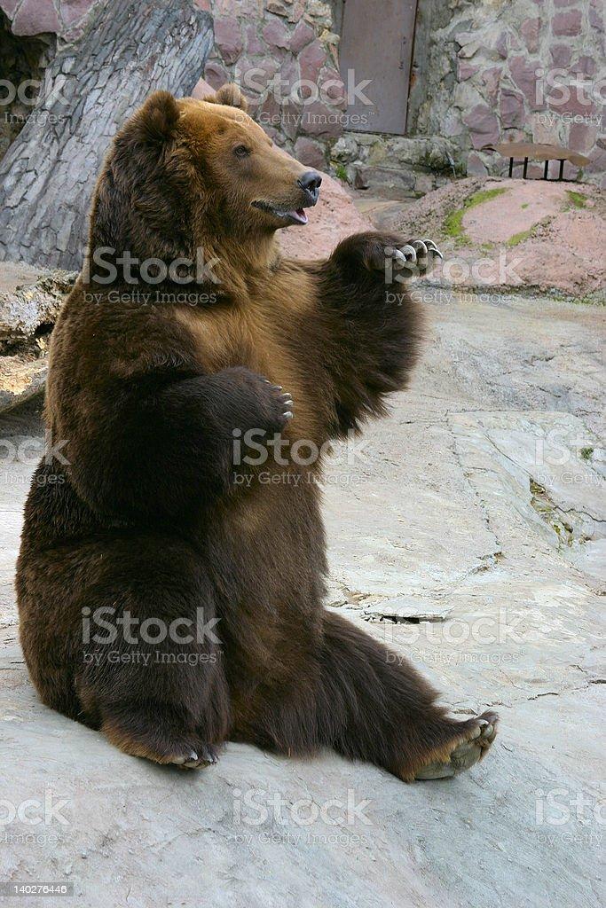 Sitting brown bear stock photo
