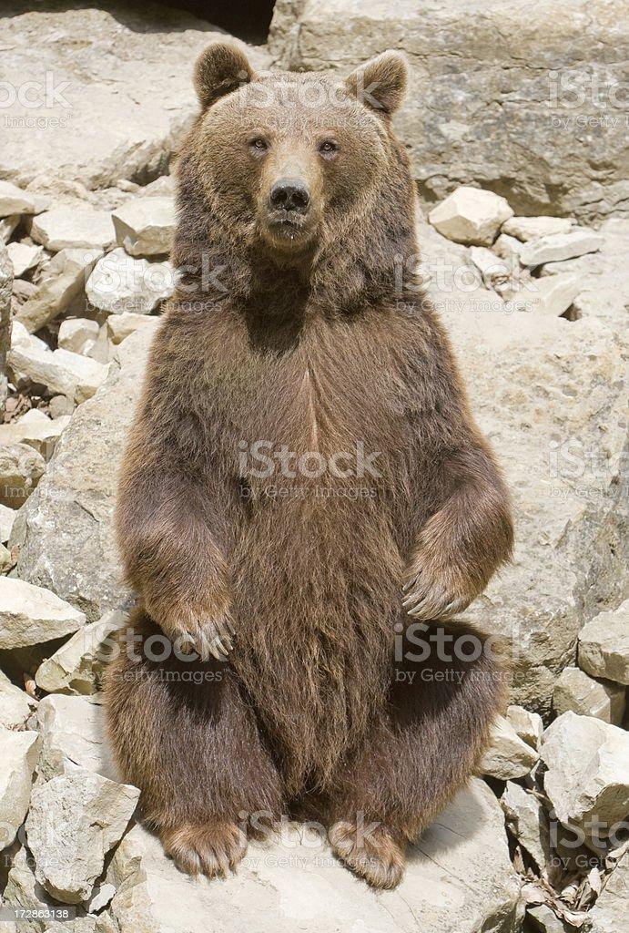 Sitting Brown Bear (Ursus Arctos) stock photo