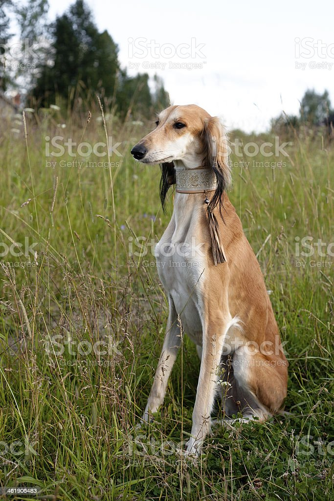 Sitting brown saluki stock photo
