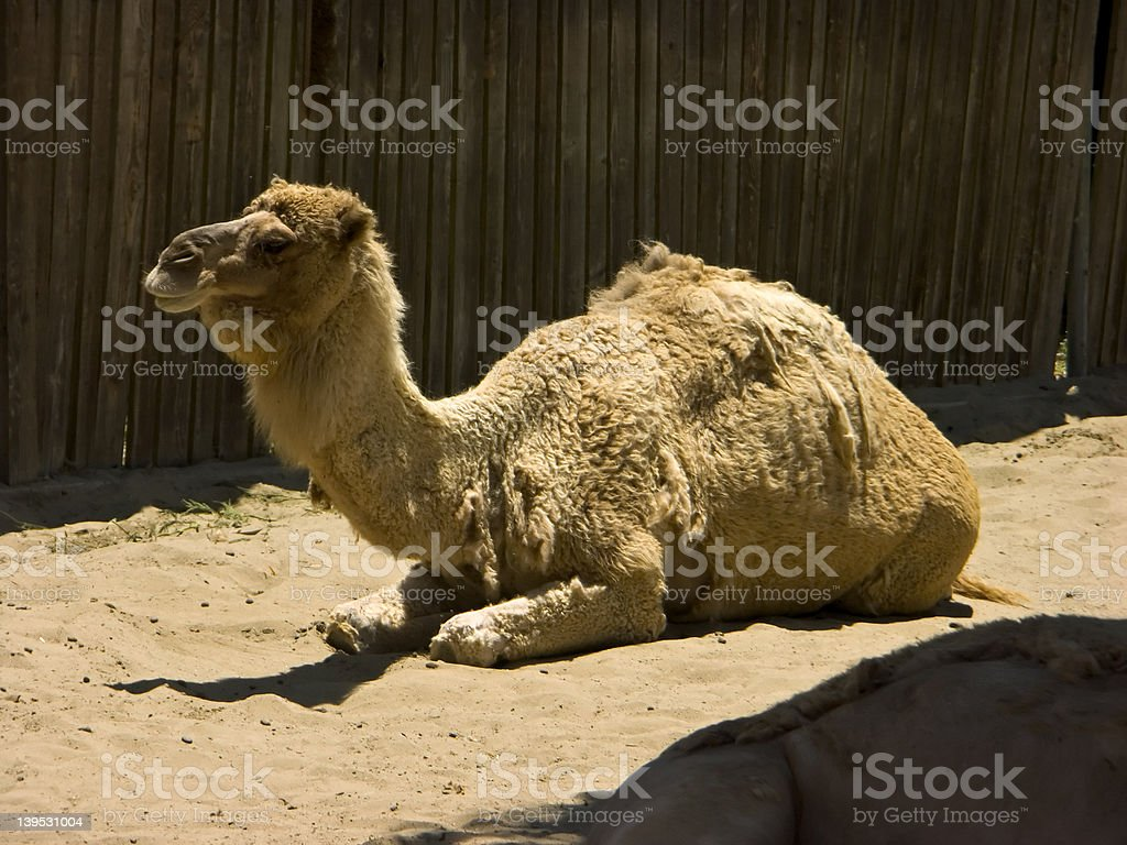 Sitting Camel royalty-free stock photo