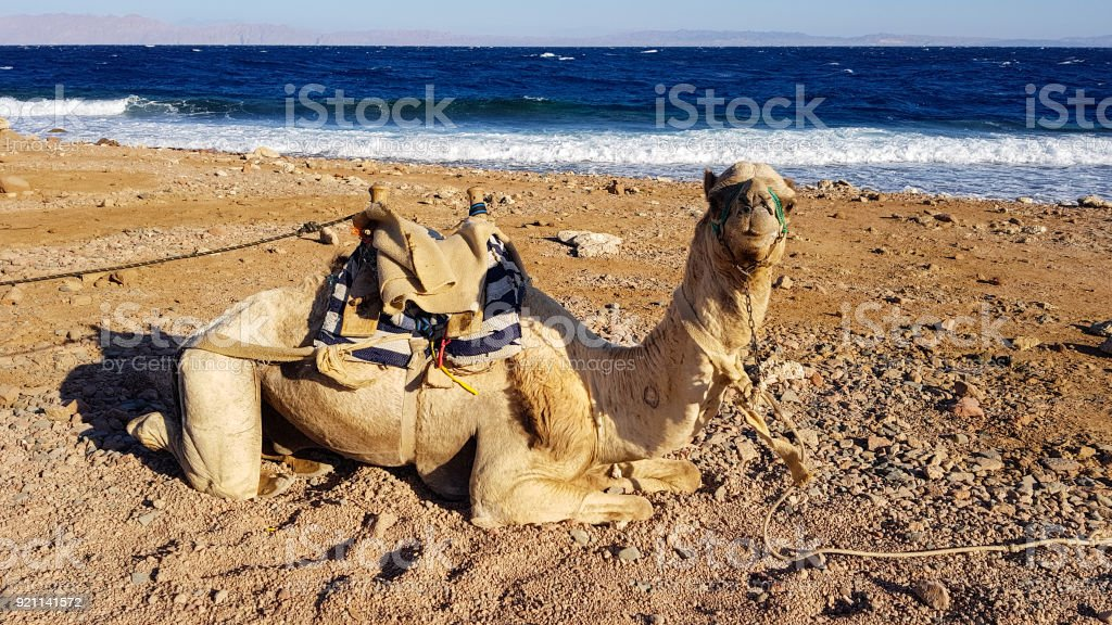 Sitting camel stock photo