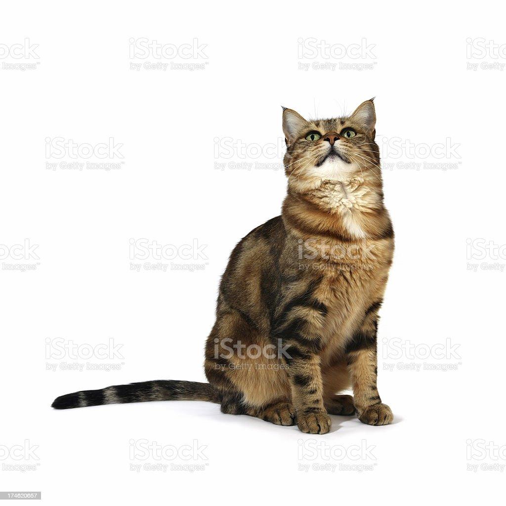 Sitting Cat royalty-free stock photo