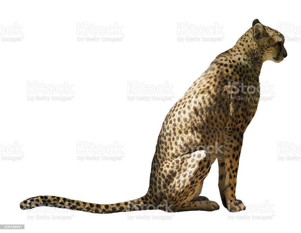 Sitting cheetah stock photo