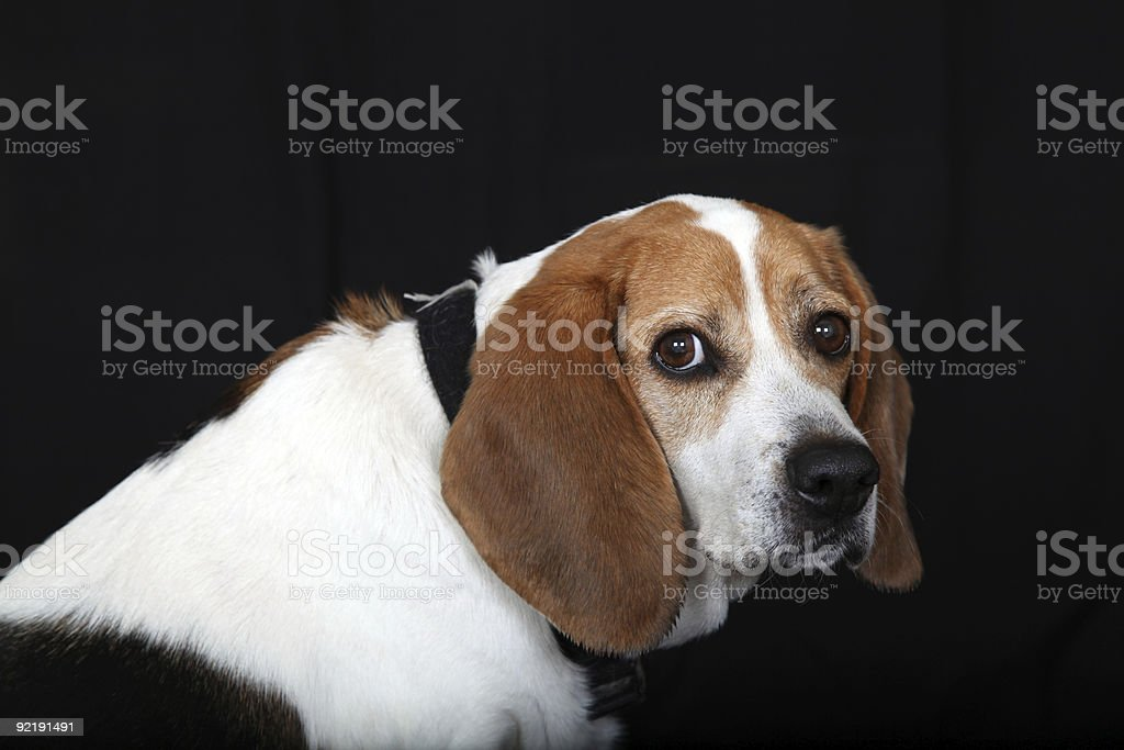 Sitting Dog Beagle looks at you from side stock photo