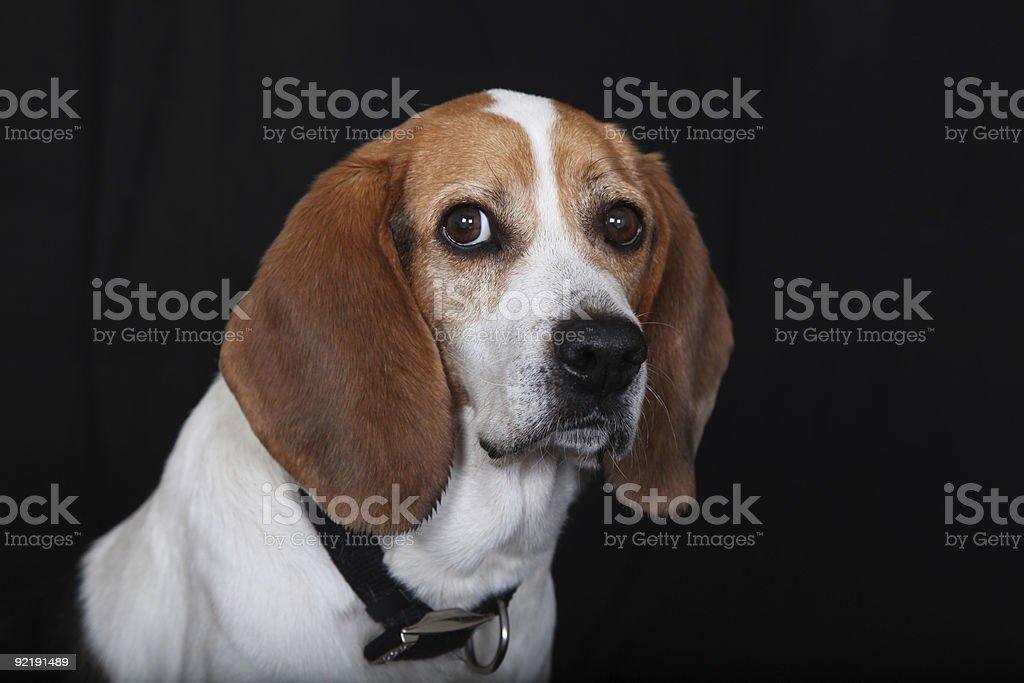 Sitting Dog Beagle stock photo