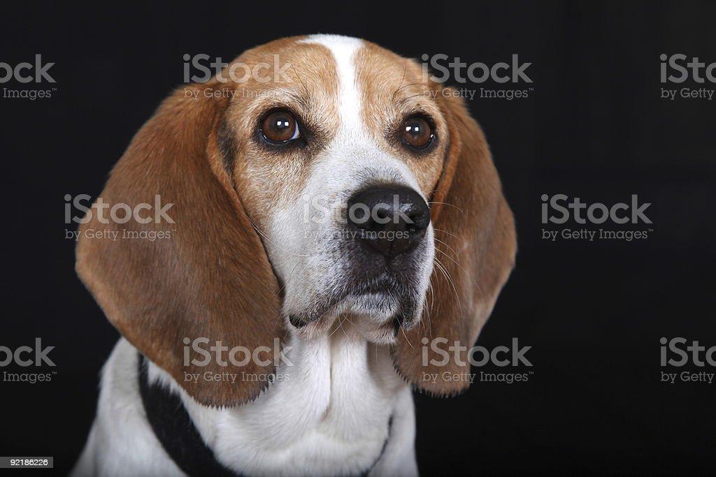 Sitting Dog (Beagle) stock photo