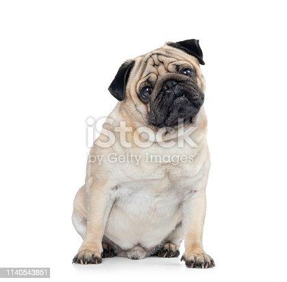 Sitting dog pug, isolated on white background