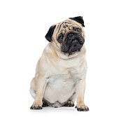 Sitting dog pug, isolated on white background