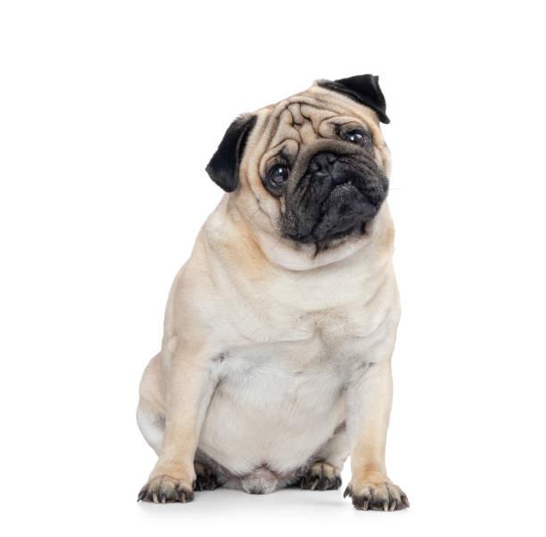 Pug de assento do cão, isolado no fundo branco - foto de acervo
