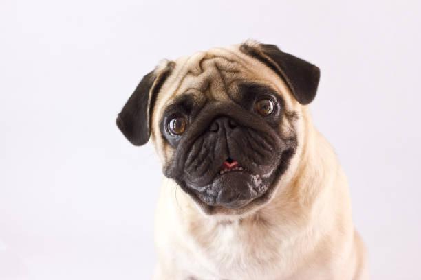 Sitting dog pug with big eyes isolated stock photo