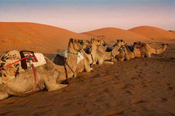Sitzen Dromedar ruht in der Morgendämmerung unter den Dünen der Wahiba Sand Wüste (Oman) – Foto