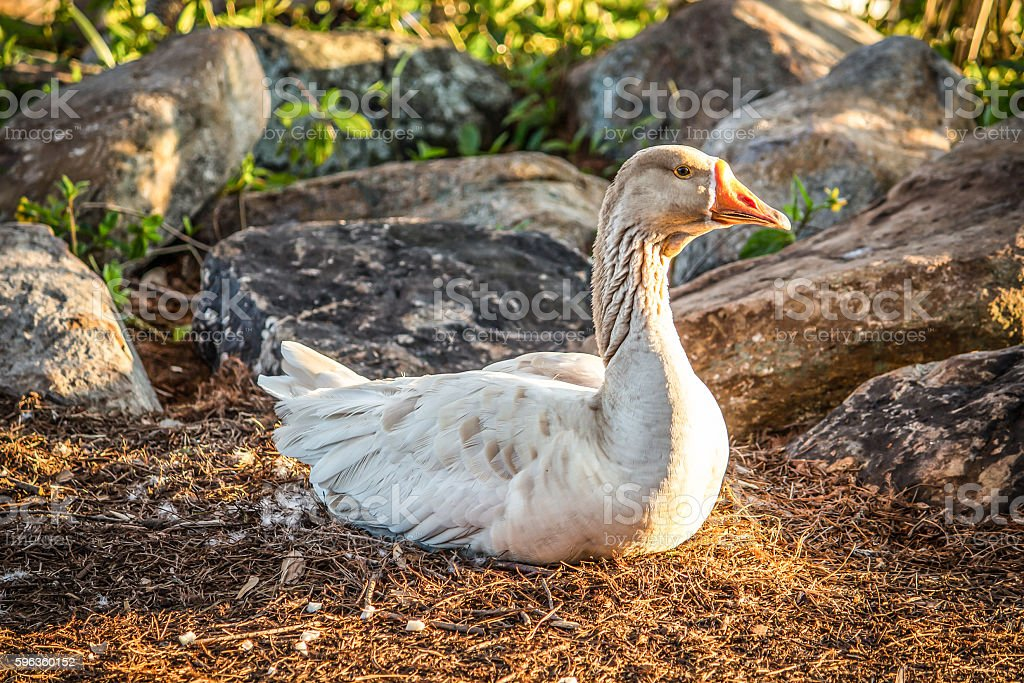 Sitting Duck royalty-free stock photo
