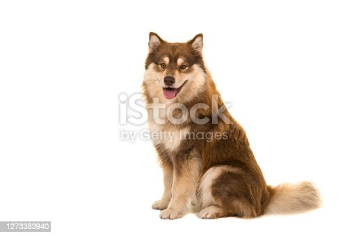 Sitting Finnish lapphund seen from the side looking at the camera isolated on a white background