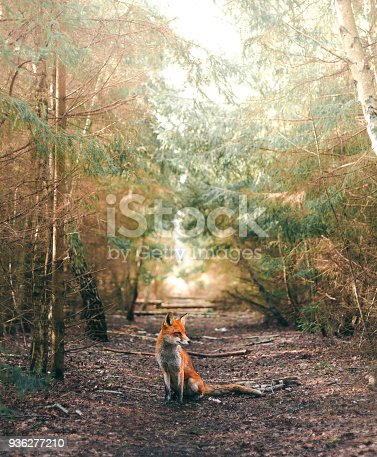 A fox sitting in a calm forest glade a sunny day.