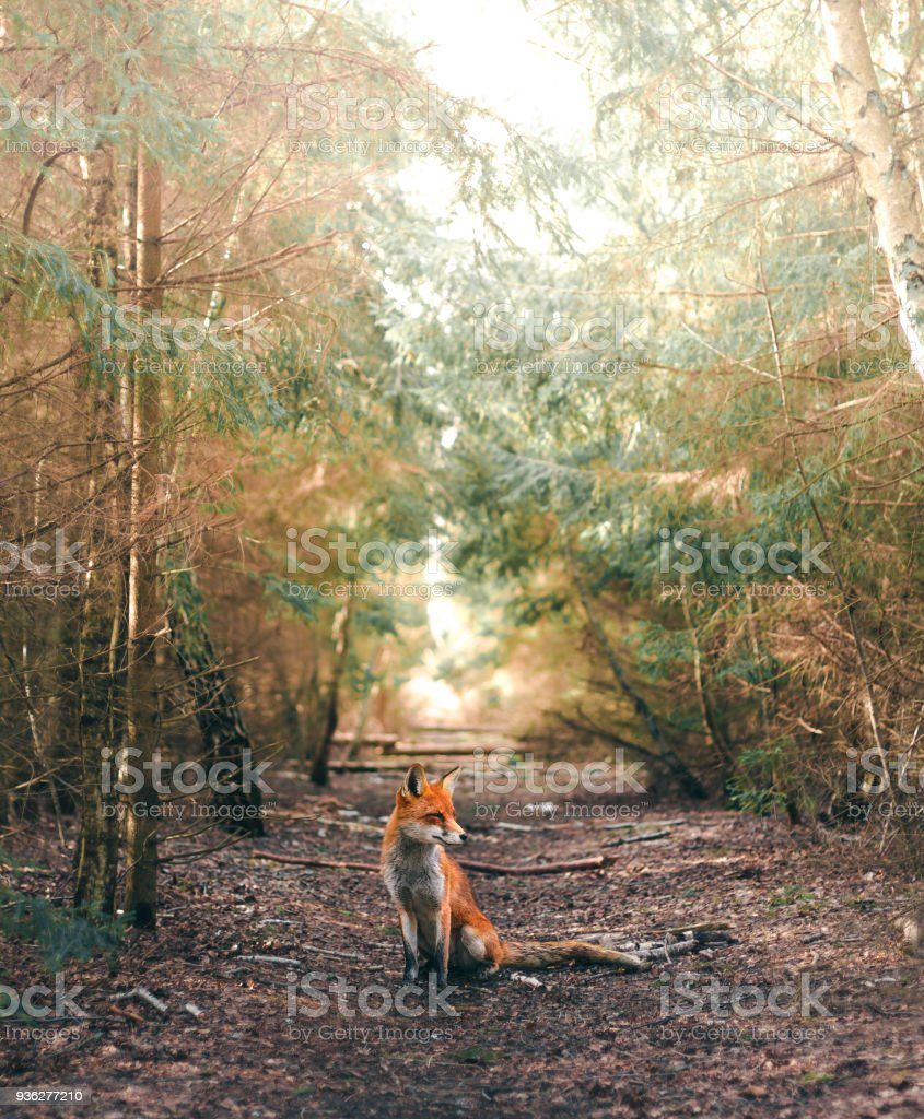 A sitting fox in a forest glade stock photo