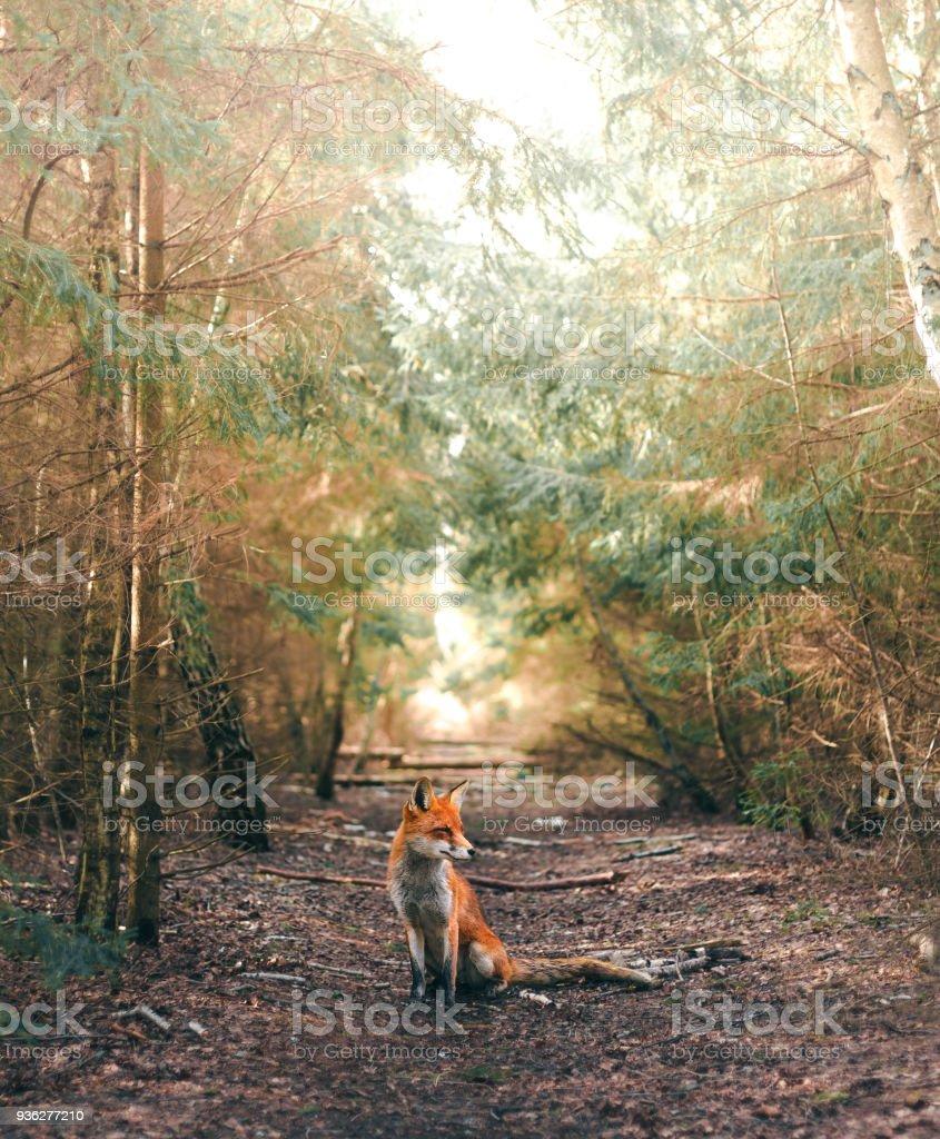 Ein Fuchs sitzen in einer Waldlichtung – Foto