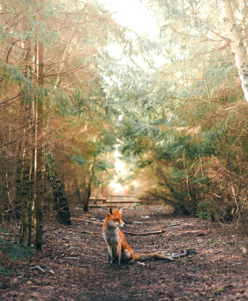 a sitting fox in a forest glade - fox stock photos and pictures