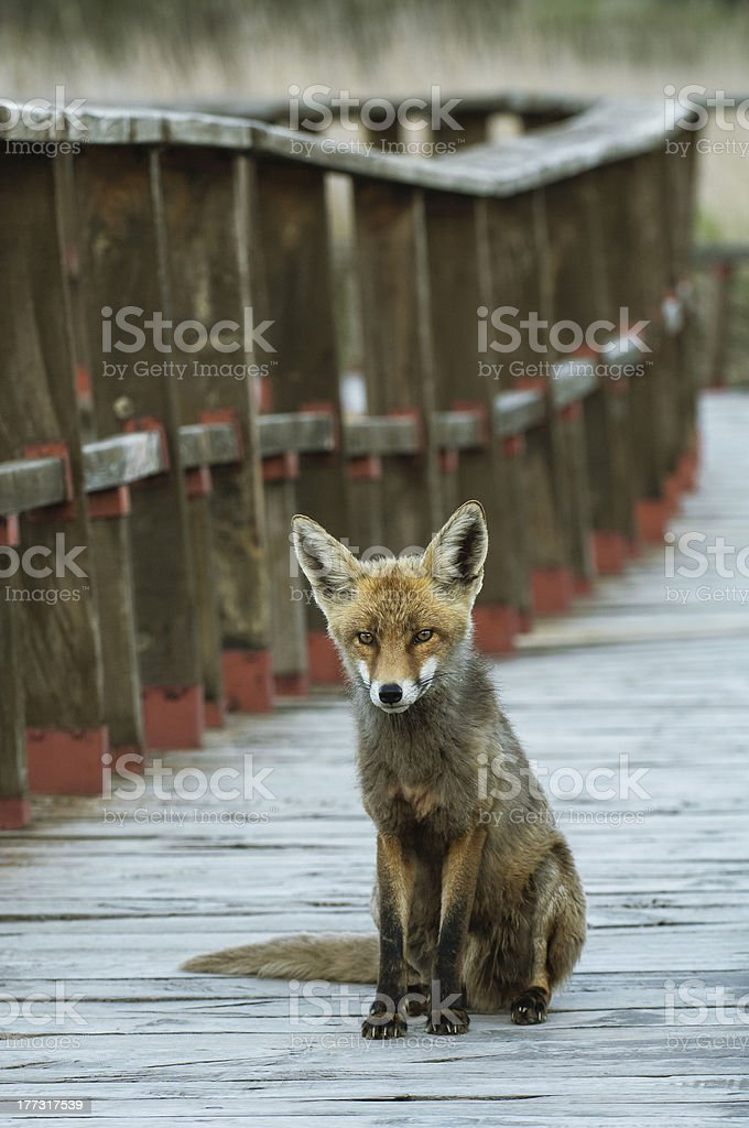 Sitting fox stock photo