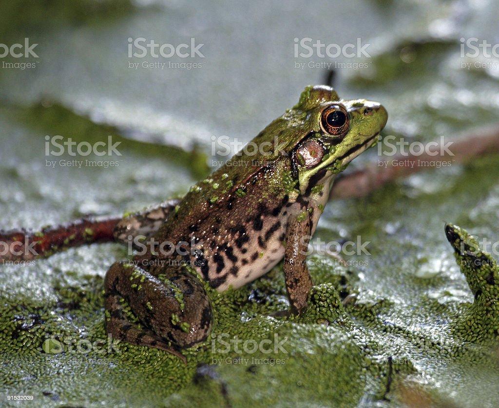 Sitting Frog royalty-free stock photo