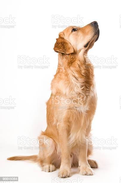 Sitting golden retriever picture id95645064?b=1&k=6&m=95645064&s=612x612&h=kcvcascrerrv1b75hidcyjn2pskddhcnbjevjrsvgsi=