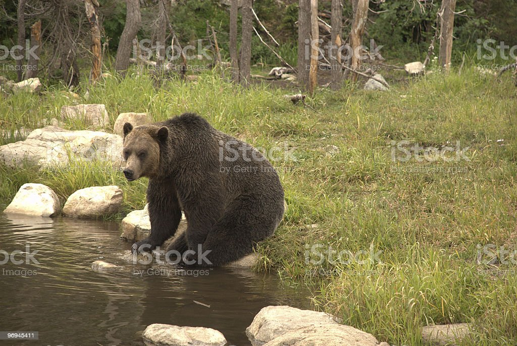 Sitting Grizzly Bear royalty-free stock photo