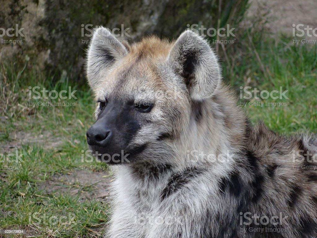Sitting hyena stock photo