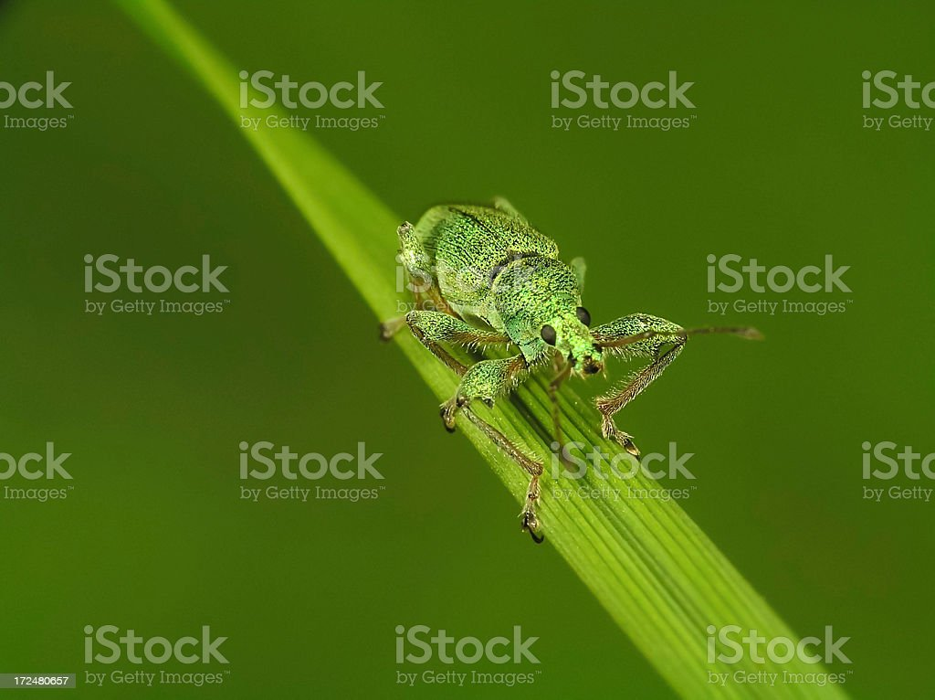 Sitting Insect (Bug) on Green Leaf royalty-free stock photo