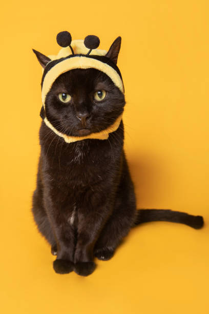Sitting Kitty Dressed as Bumblebee A humorous image of a black cat dressed as a bumblebee on a yellow background. sdominick stock pictures, royalty-free photos & images