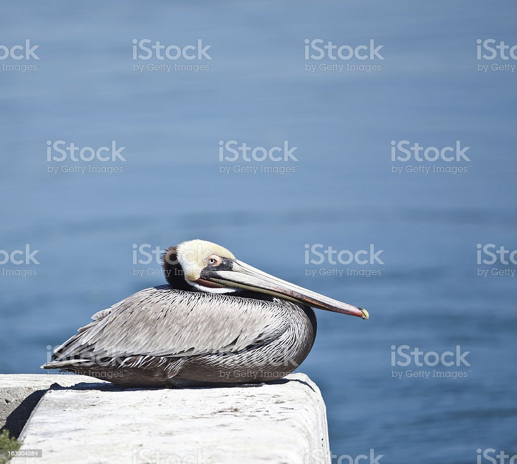 Sitting Pelican royalty-free stock photo