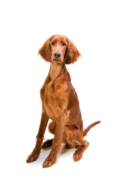 sitting pretty Beautiful red setter dog irish setter stock pictures, royalty-free photos & images