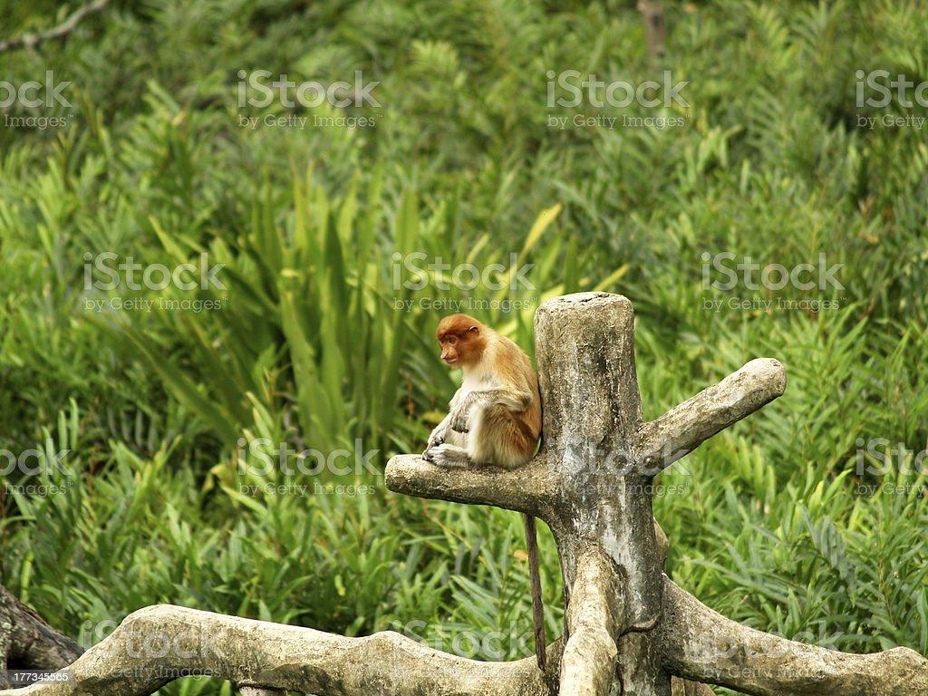 Sitting Proboscis monkey royalty-free stock photo
