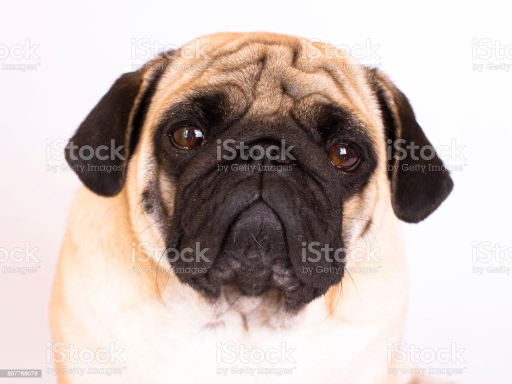 A sitting pug dog looks sad. Isolated stock photo