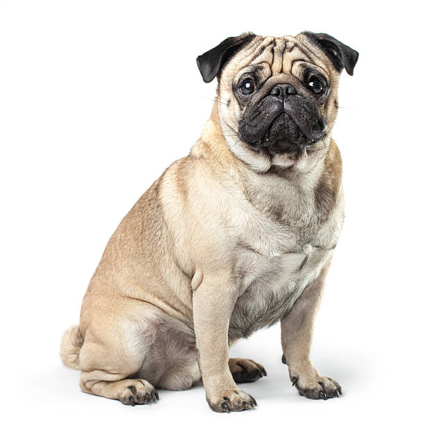 Sitting pug in front of a white background stock photo