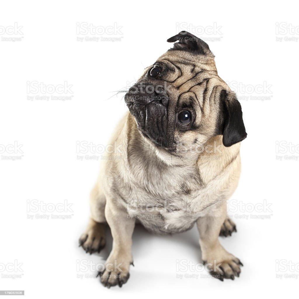 Sitting Pug isolated on White Background. Eyes in focus stock photo