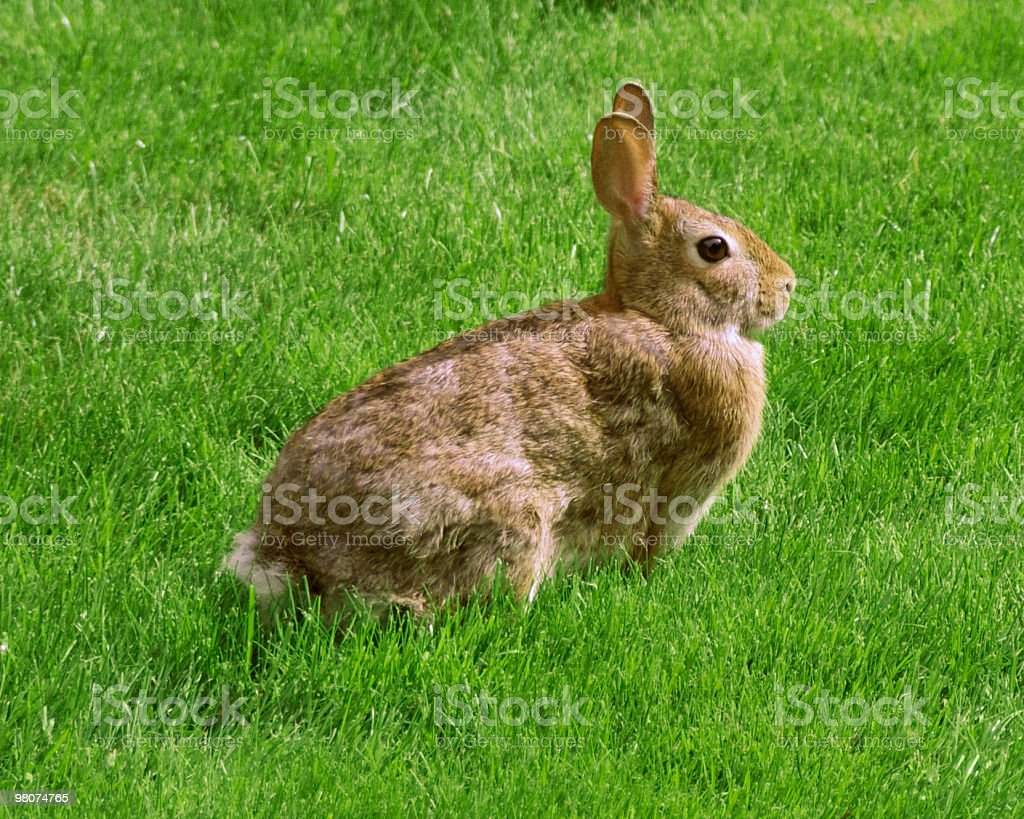 Sitting rabbit royalty-free stock photo