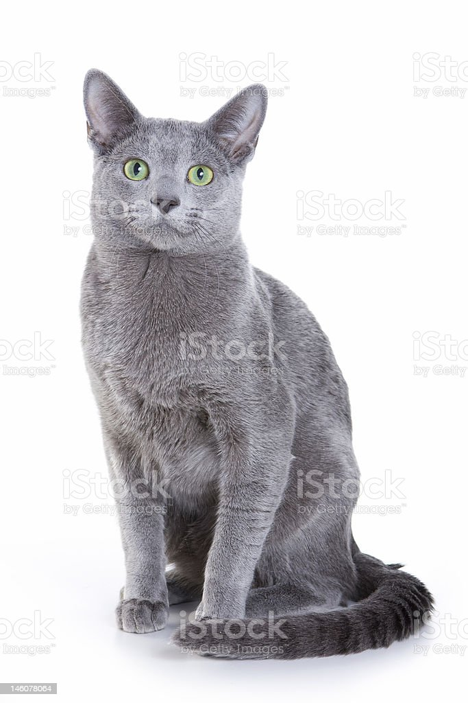 Sitting Russian Blue Cat Isolated In White Stock Photo Download Image Now Istock