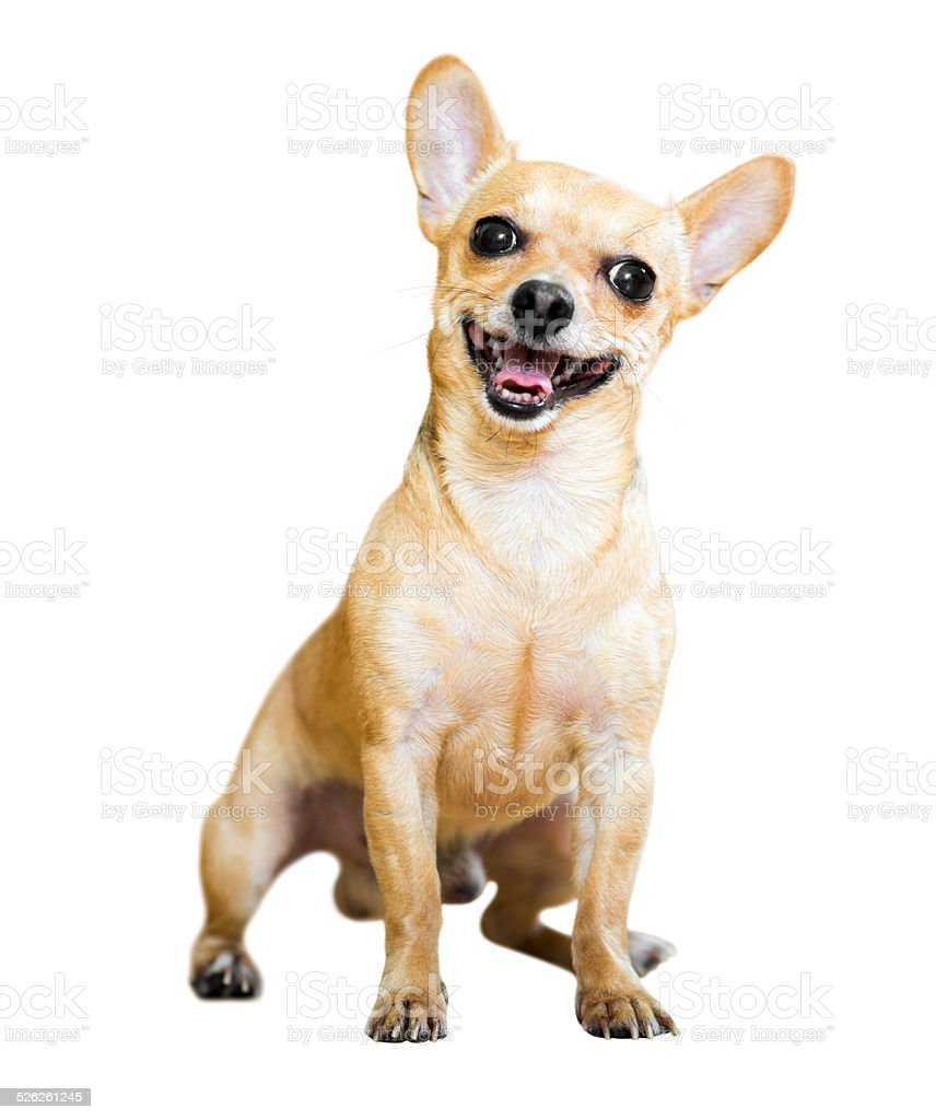 Sitting Russian Toy Terrier stock photo