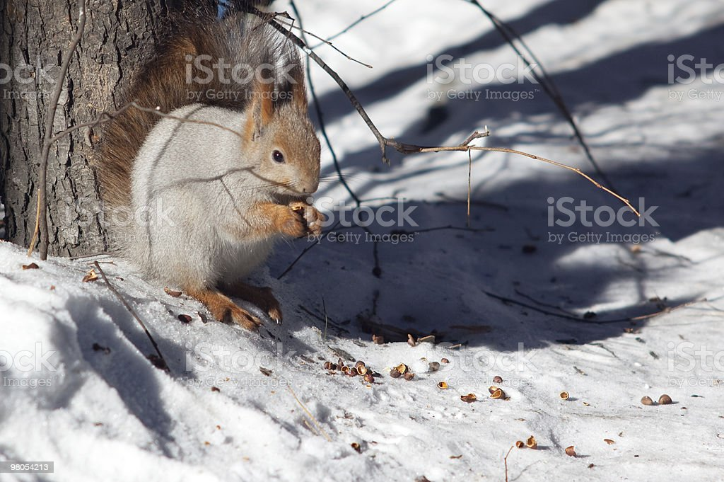 sitting squirrel royalty-free stock photo