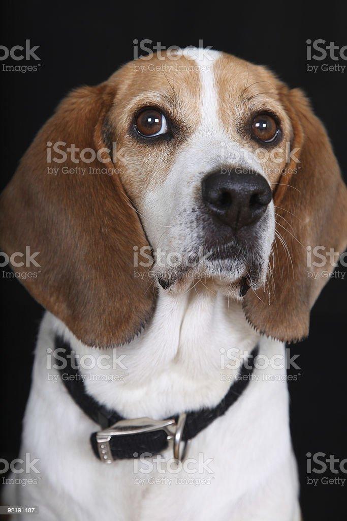 Sitting Tall Dog (Beagle) stock photo