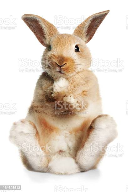 Sitting up rabbit picture id164628613?b=1&k=6&m=164628613&s=612x612&h= c dps k5ivobvnfyxqrqkcy2myumgabbqbvy7ixuui=
