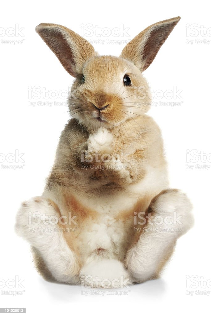 Sitting up rabbit stock photo