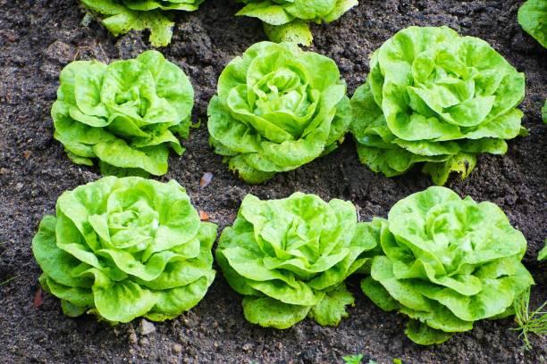 Six 6 green genuine vegan gem lettuce in organic soil stock photo