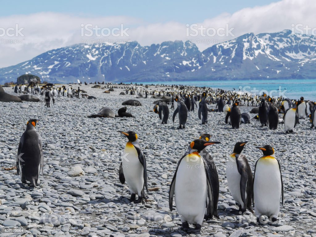 Six adult king penguins close to the camera on South Georgia Island in the South Atlantic Ocean. stock photo