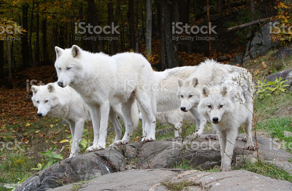 Six Arctic Wolves stock photo