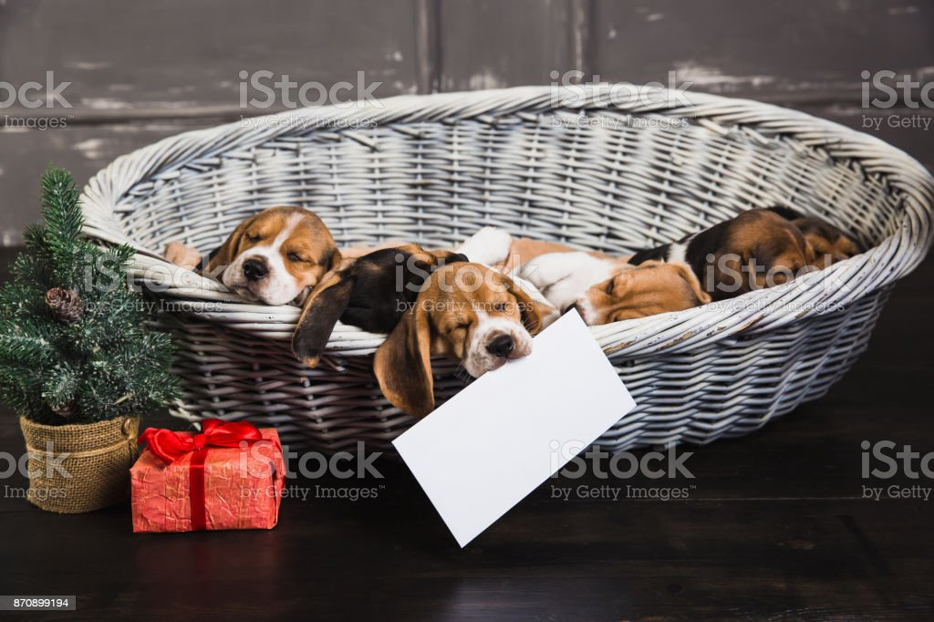 six beagle puppies sleeping in the basket stock photo more