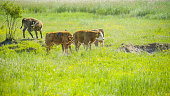 istock Six big cows in one part of the big field 1133781935