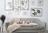 Six english bulldog puppies sitting on gray sofa in room