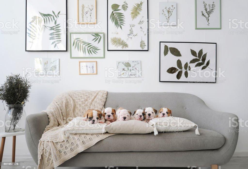 Six english bulldog puppies sitting on gray sofa in room. stock photo